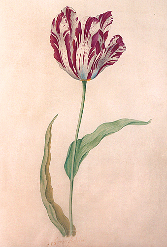 The Most Beautiful Tulip In History Cost As Much As A